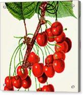 Mercer Cherry Illustration 1892 Acrylic Print