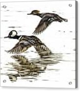 Mergansers In Flight Acrylic Print