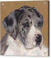 Merle Great Dane Puppy Acrylic Print
