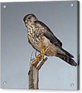 Merlin Falcon Acrylic Print