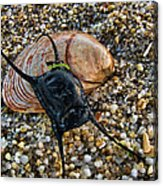 Mermaids Purse Acrylic Print