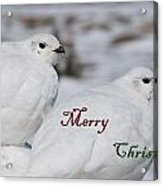 Merry Christmas - Winter Ptarmigan Acrylic Print