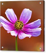 Merry Cosmos Floral Acrylic Print
