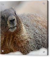 Merry Marmot Acrylic Print
