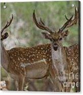 Mesopotamian Fallow Deer 5 Acrylic Print