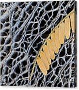 Mesquite Leaves Acrylic Print