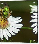 Metallic Green Wasp Acrylic Print
