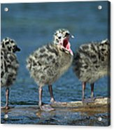 Mew Gull Three Chicks Acrylic Print by Tom Vezo