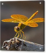Mexican Amberwing Acrylic Print