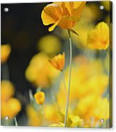 Mexican Gold Poppies Acrylic Print