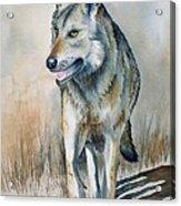 Mexican Grey Wolf Acrylic Print
