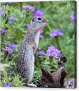Mexican Ground Squirrel In Wildflowers Acrylic Print