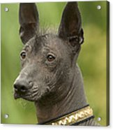 Mexican Hairless Dog Acrylic Print