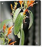 Mexican Honeysuckle Blooms Acrylic Print