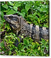 Mexican Spinytailed Iguana  Acrylic Print