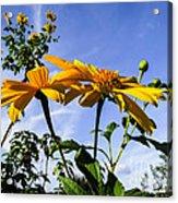 Mexican Sunflower Acrylic Print