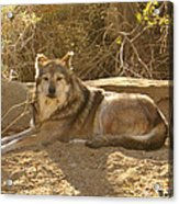 Mexican Wolf Close Up Acrylic Print