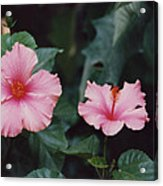 Mexico Pink Beauties By Tom Ray Acrylic Print