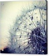 #mgmarts #dandelion #love #micro Acrylic Print