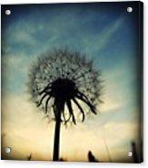 #mgmarts #dandelion #weed #sunset #sun Acrylic Print