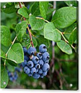 Michigan Blueberries Acrylic Print