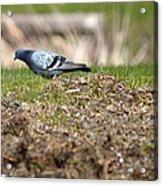 Michigan Rock Pigeon Acrylic Print