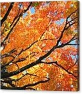 Michigan Sugan Maple Acrylic Print