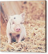Micro Pig Acrylic Print