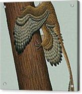 Microraptor Gui, A Small Theropod Acrylic Print