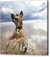 Mid-air Beach Dog Acrylic Print by Eldad Carin