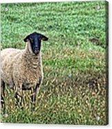 Middle Child - Blackfaced Sheep Acrylic Print
