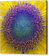 Middle Of Sunflower Close-up Acrylic Print