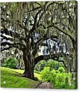 Middleton Place Oak  Acrylic Print