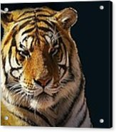 Midnight Catnap Acrylic Print