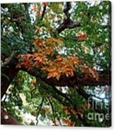 Mighty Fall Oak #1 Acrylic Print