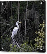 Mighty Heron Acrylic Print