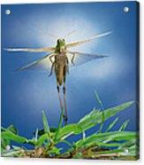 Migratory Locust Flying Acrylic Print