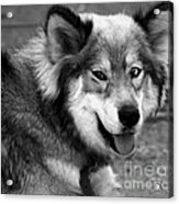 Miley The Husky With Blue And Brown Eyes - Black And White Acrylic Print by Doc Braham