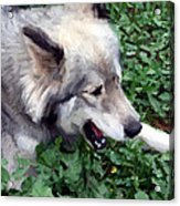 Miley The Husky With Blue And Brown Eyes - Impressionist Artistic Work Acrylic Print