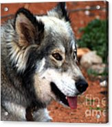 Miley The Husky With Blue And Brown Eyes Acrylic Print by Doc Braham