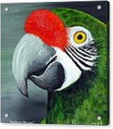 Military Macaw Acrylic Print