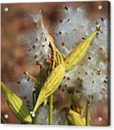 Milk Weed Spewing Its Seeds Acrylic Print