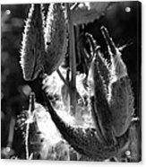 Milkweed #10 Acrylic Print