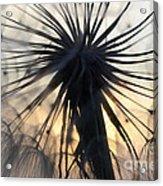 Beauty Of The Dandelion 1 Acrylic Print