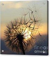Milkweed 5 Acrylic Print