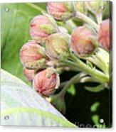 Milkweed Before Bloom Acrylic Print