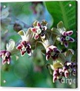 Milkweed Bloom Acrylic Print