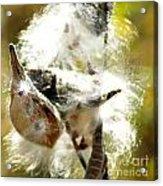 Milkweed Blowout Acrylic Print