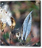 Milkweed Breaking Free Acrylic Print