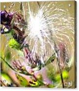 Milkweed Cotton  Acrylic Print